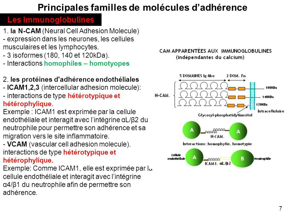 7 Principales familles de molécules dadhérence 1. la N-CAM (Neural Cell Adhesion Molecule) - expression dans les neurones, les cellules musculaires et
