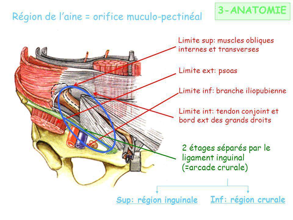 3-ANATOMIE Région de laine = orifice muculo-pectinéal Limite sup: muscles obliques internes et transverses Limite ext: psoas Limite inf: branche iliopubienne Limite int: tendon conjoint et bord ext des grands droits 2 étages séparés par le ligament inguinal (=arcade crurale) Sup: région inguinale Inf: région crurale