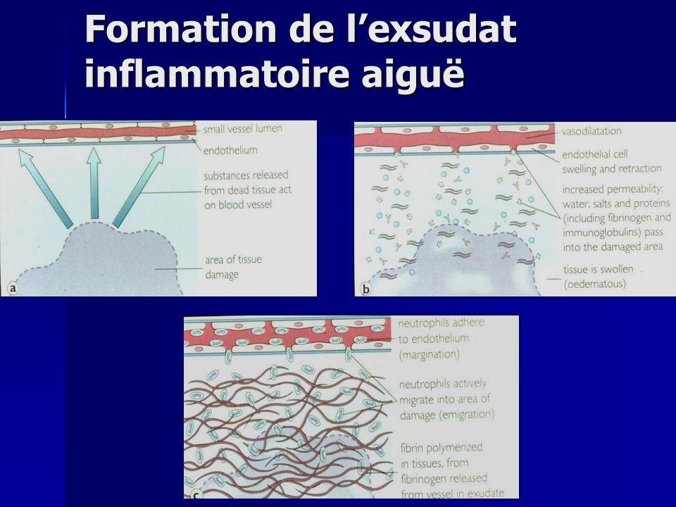 Formation de lexsudat inflammatoire aiguë