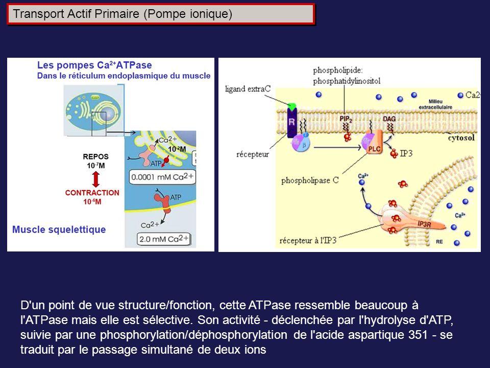 D'un point de vue structure/fonction, cette ATPase ressemble beaucoup à l'ATPase mais elle est sélective. Son activité - déclenchée par l'hydrolyse d'