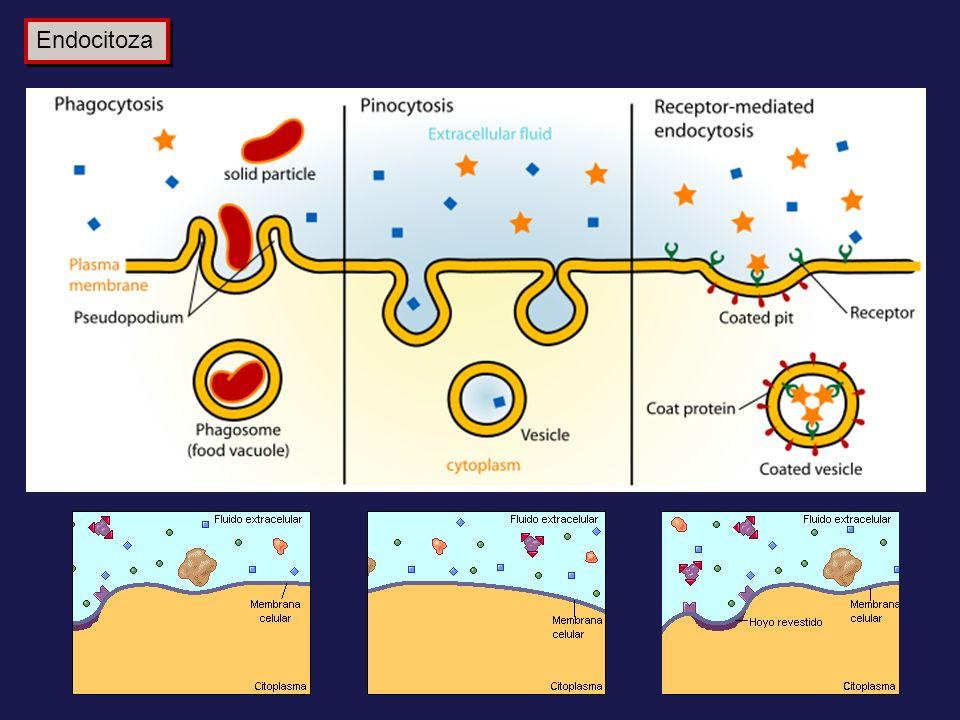 Endocitoza