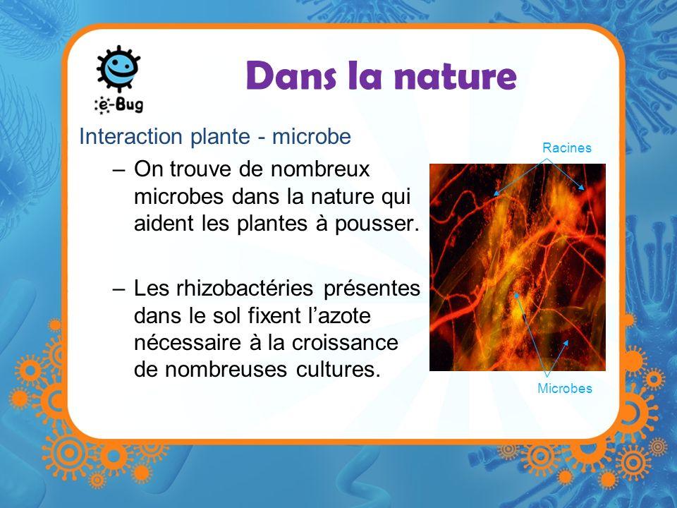 Dans la nature Interaction plante - microbe –On trouve de nombreux microbes dans la nature qui aident les plantes à pousser. –Les rhizobactéries prése