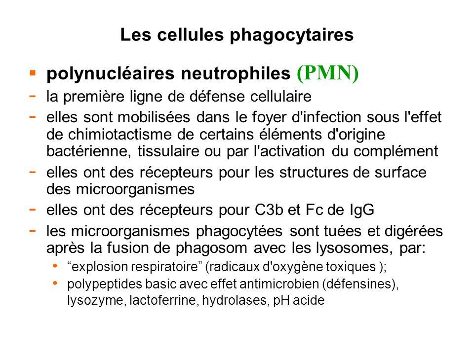 Les cellules phagocytaires polynucléaires neutrophiles (PMN) - la première ligne de défense cellulaire - elles sont mobilisées dans le foyer d'infecti