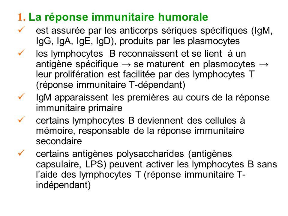1. La réponse immunitaire humorale est assurée par les anticorps sériques spécifiques (IgM, IgG, IgA, IgE, IgD), produits par les plasmocytes les lymp
