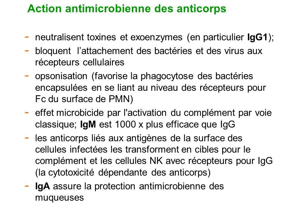Action antimicrobienne des anticorps - neutralisent toxines et exoenzymes (en particulier IgG1); - bloquent lattachement des bactéries et des virus au