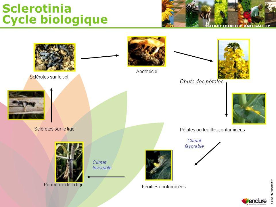 © ENDURE, February 2007 FOOD QUALITY AND SAFETY © ENDURE, February 2007 FOOD QUALITY AND SAFETY Sclerotinia Cycle biologique Sclérotes sur le sol Péta