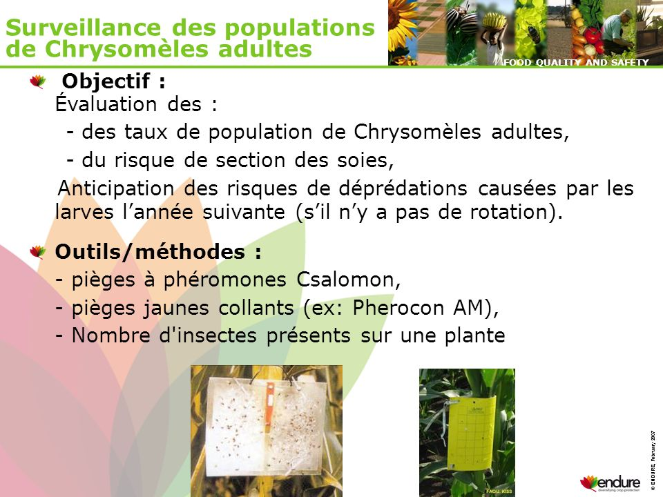 © ENDURE, February 2007 FOOD QUALITY AND SAFETY © ENDURE, February 2007 FOOD QUALITY AND SAFETY Surveillance des populations de Chrysomèles adultes Ob