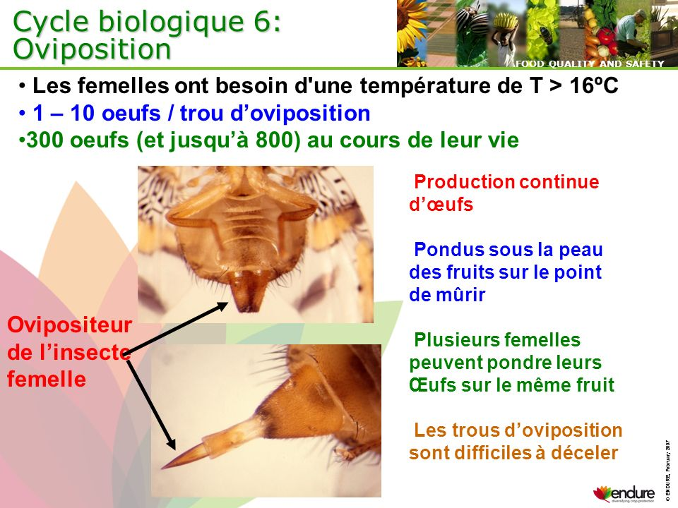 © ENDURE, February 2007 FOOD QUALITY AND SAFETY © ENDURE, February 2007 FOOD QUALITY AND SAFETY Cycle biologique 6: Oviposition Production continue dœ