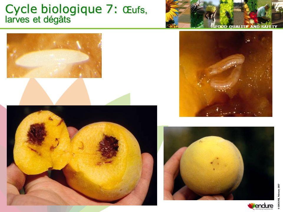 © ENDURE, February 2007 FOOD QUALITY AND SAFETY © ENDURE, February 2007 FOOD QUALITY AND SAFETY Cycle biologique 7: Œufs, larves et dégâts