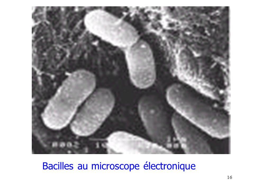 16 Bacilles au microscope électronique