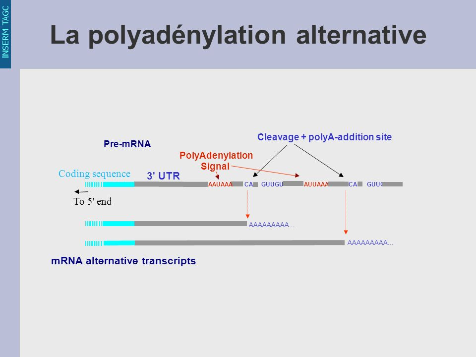 La polyadénylation alternative Coding sequence To 5' end AUUAAA AAAAAAAAA... AAUAAA CA GUUGU Cleavage + polyA-addition site Pre-mRNA mRNA alternative
