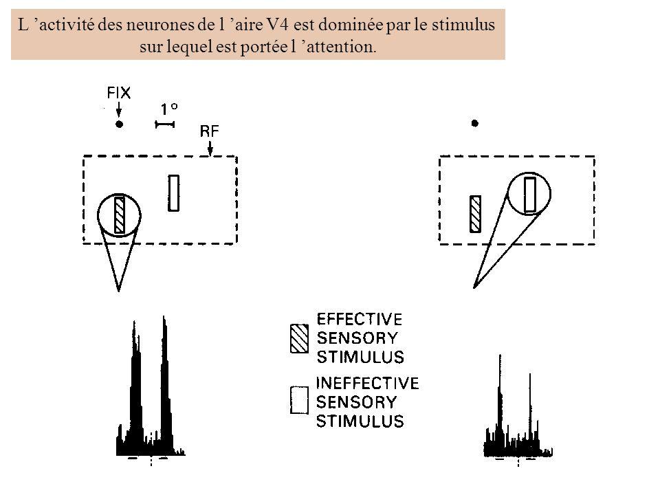 L activité des neurones de l aire V4 est dominée par le stimulus sur lequel est portée l attention.