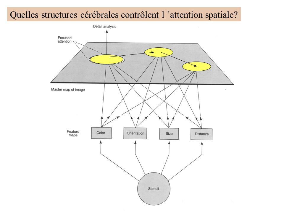 Quelles structures cérébrales contrôlent l attention spatiale?