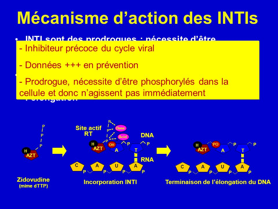 Mécanisme daction des INTIs INTI sont des prodrogues : nécessite dêtre phosphorylés pour leur incorporation dans la chaîne dADN en cours de formation