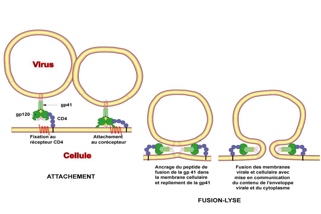 Ac Monoclonaux antiCD4 Inhibiteurs CoR Inhibiteur de fusion