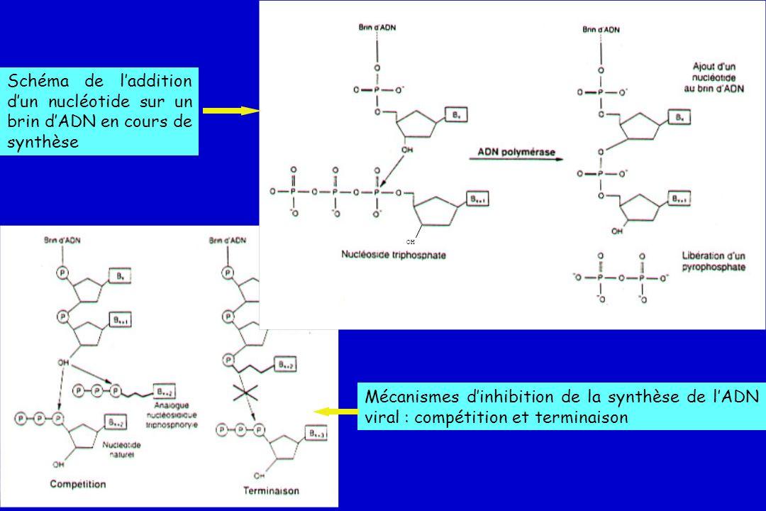 Mécanisme daction des INTIs Incorporation dun ddNTP monophosphate dans la chaîne dADN en cours de formation Absence de groupement 3OH empêche laddition du dNTP suivant PPPP PP P Acid OH AT A U A C Site actif RT P P Base Zidovudine (mime dTTP) Incorporation INTITerminaison de lélongation du DNA DNA PPPP PP AT AUAC PO H AZT P P P H H RNA