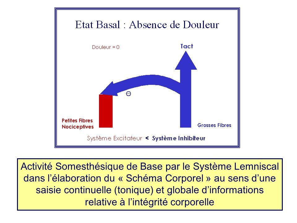 Activité Somesthésique de Base par le Système Lemniscal dans lélaboration du « Schéma Corporel » au sens dune saisie continuelle (tonique) et globale