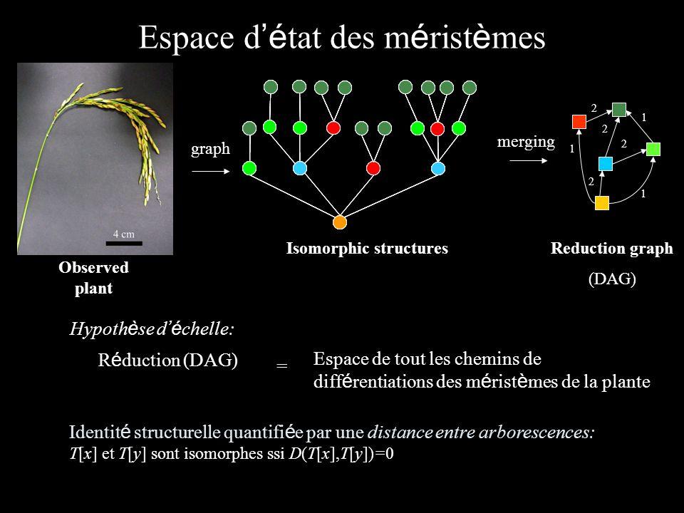 Espace d é tat des m é rist è mes Observed plant merging graph Isomorphic structures Espace de tout les chemins de diff é rentiations des m é rist è mes de la plante R é duction (DAG) = Hypoth è se d é chelle: Identit é structurelle quantifi é e par une distance entre arborescences: T[x] et T[y] sont isomorphes ssi D(T[x],T[y])=0 Reduction graph (DAG) 1 1 2 2 1 2 1 2