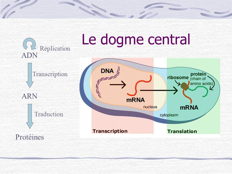 Le dogme central ADN ARN Protéines Réplication Transcription Traduction