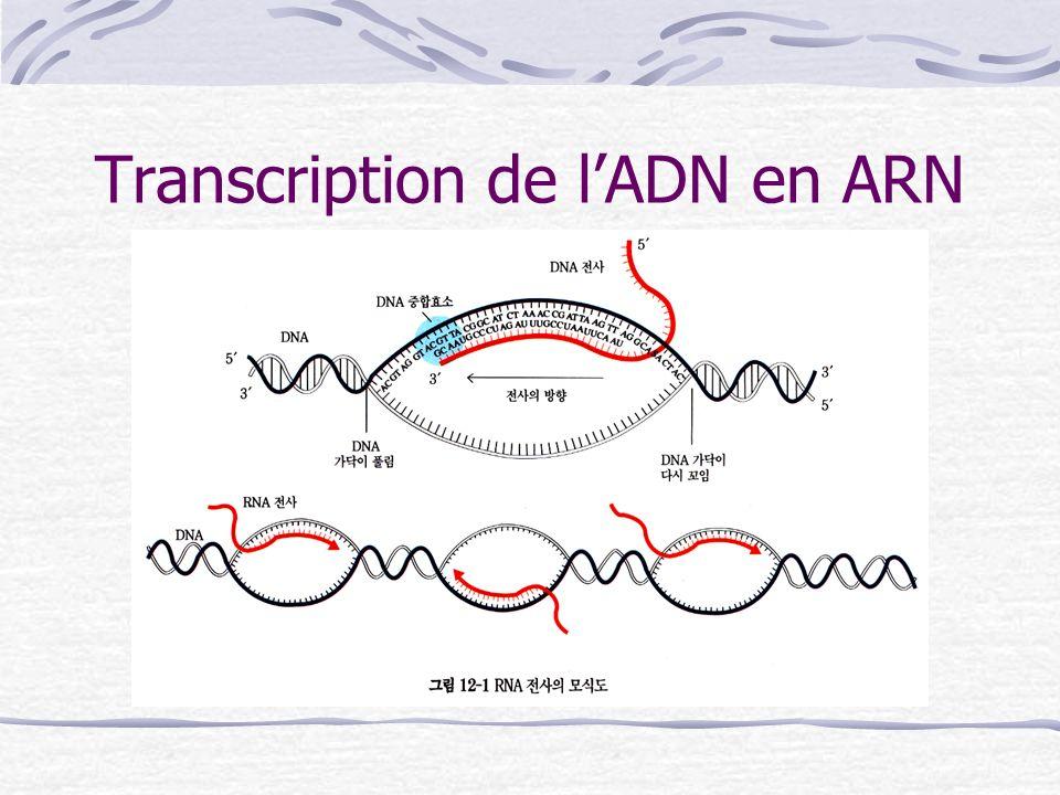 Transcription de lADN en ARN