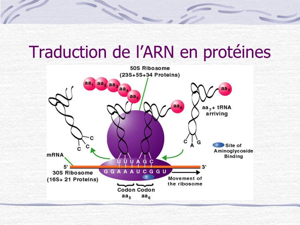 Traduction de lARN en protéines