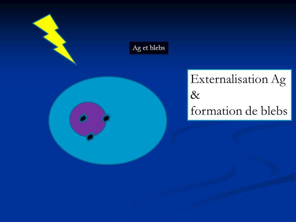 Ag et blebs Externalisation Ag & formation de blebs