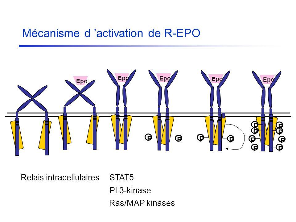 Relais intracellulairesSTAT5 PI 3-kinase Ras/MAP kinases Epo P P P P P P P P P P P P Mécanisme d activation de R-EPO