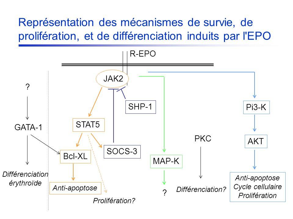 JAK2 SHP-1 Prolifération? PKC Différenciation? STAT5 SOCS-3 Bcl-XL Pi3-K AKT Anti-apoptose Cycle cellulaire Prolifération MAP-K ? Différenciation éryt