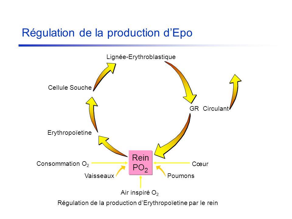 Rein PO 2 GR Circulant Cœur PoumonsVaisseaux Air inspiré O 2 Consommation O 2 Erythropoïetine Régulation de la production dErythropoïetine par le rein