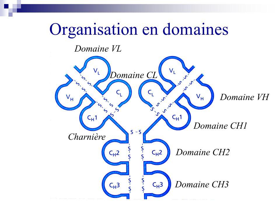 Organisation en domaines Domaine VH Domaine CH2 Domaine CH3 Domaine CH1 Domaine VL Domaine CL Charnière