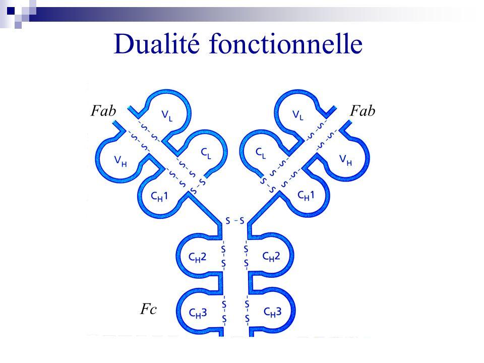 Dualité fonctionnelle Fc Fab