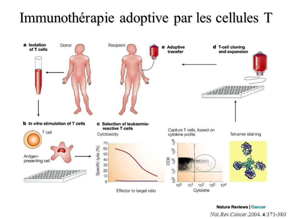Nat.Rev.Cancer.2004. 4:371-380 Immunothérapie adoptive par les cellules T