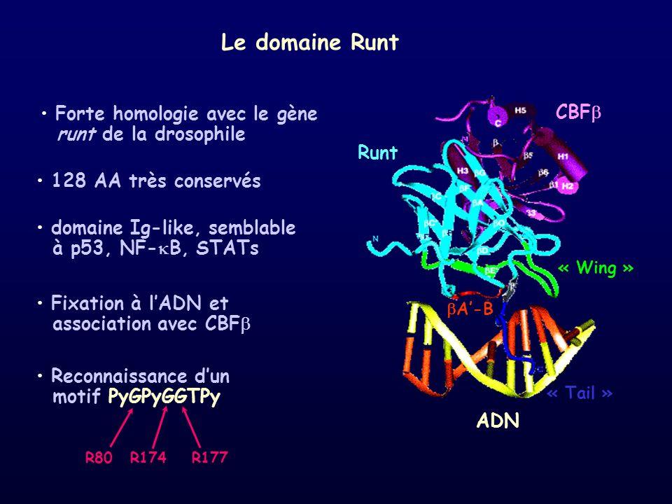 « Wing » « Tail » CBF ADN Runt A-B domaine Ig-like, semblable à p53, NF- B, STATs Le domaine Runt 128 AA très conservés Fixation à lADN et association