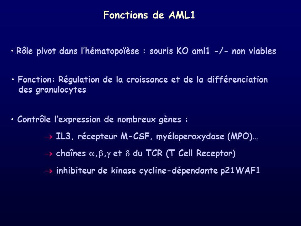 Rôle pivot dans lhématopoïèse : souris KO aml1 -/- non viables Contrôle lexpression de nombreux gènes : IL3, récepteur M-CSF, myéloperoxydase (MPO)… c