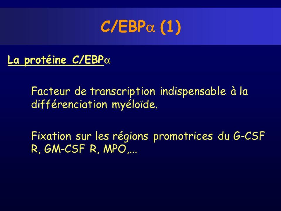 La protéine C/EBP Facteur de transcription indispensable à la différenciation myéloïde. Fixation sur les régions promotrices du G-CSF R, GM-CSF R, MPO