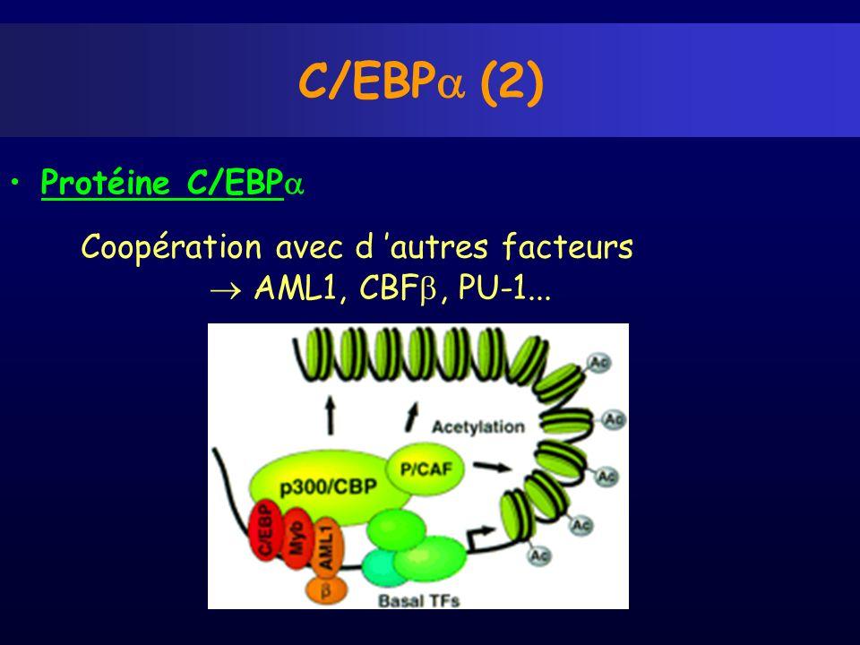Protéine C/EBP C/EBP (2) Coopération avec d autres facteurs AML1, CBF, PU-1...