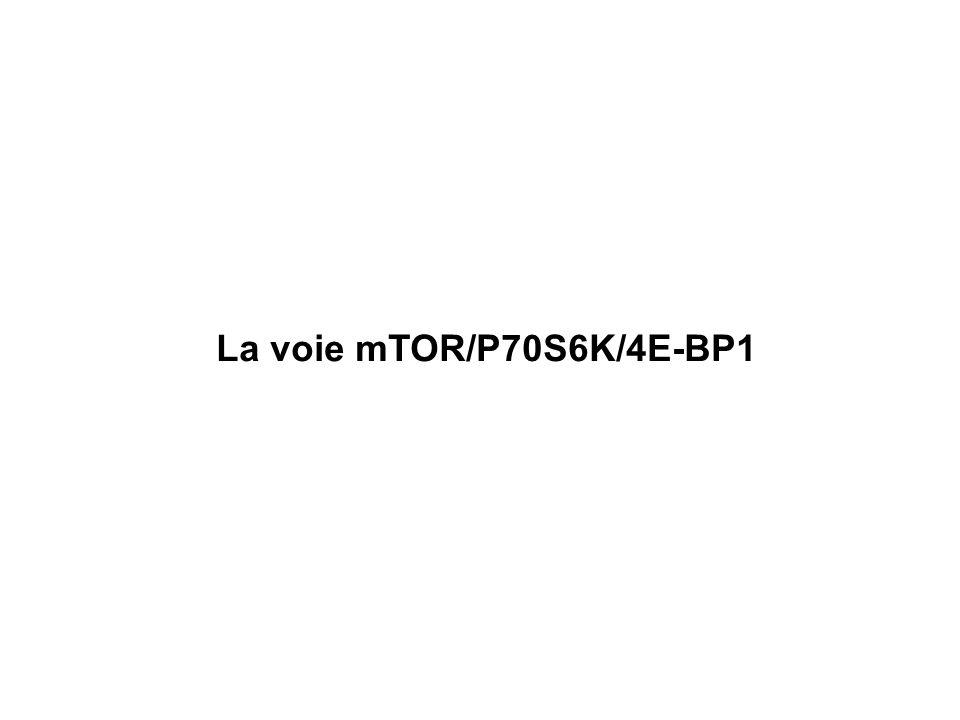 La voie mTOR/P70S6K/4E-BP1