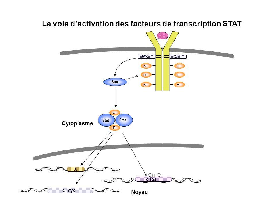 P P P P P P Stat P P JAK X c-myc c fos FT Noyau Cytoplasme La voie dactivation des facteurs de transcription STAT