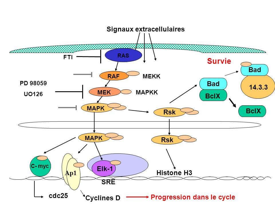 Signaux extracellulaires RAS RAF MEK MAPK MAPKK MEKK MAPK Elk-1 Rsk Bad BclX Histone H3 SRE C- myc Ap1 cdc25 Cyclines D PD 98059 UO126 Bad BclX 14.3.3