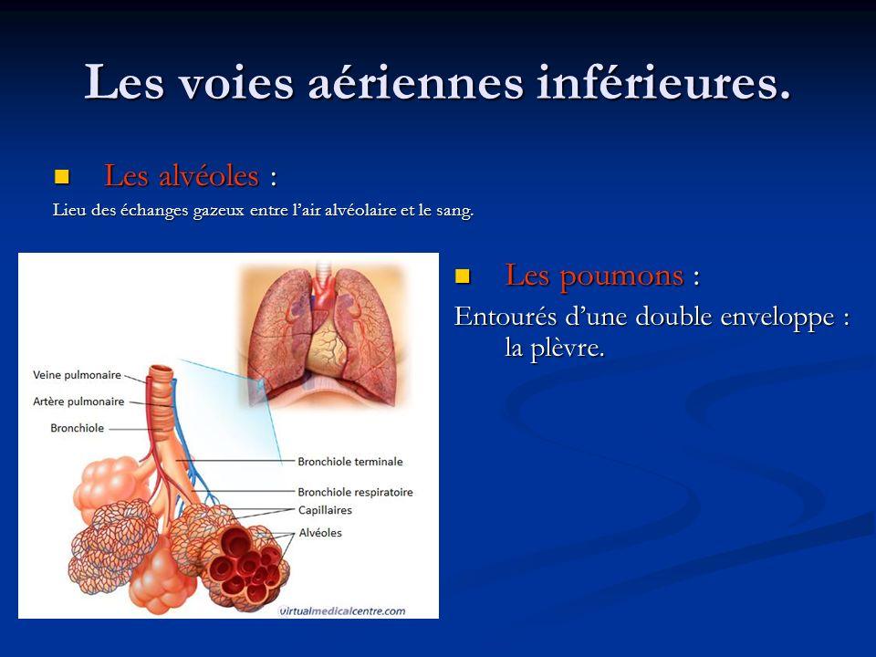 Les voies aériennes inférieures. Les alvéoles : Les alvéoles : Lieu des échanges gazeux entre lair alvéolaire et le sang. Les poumons : Entourés dune