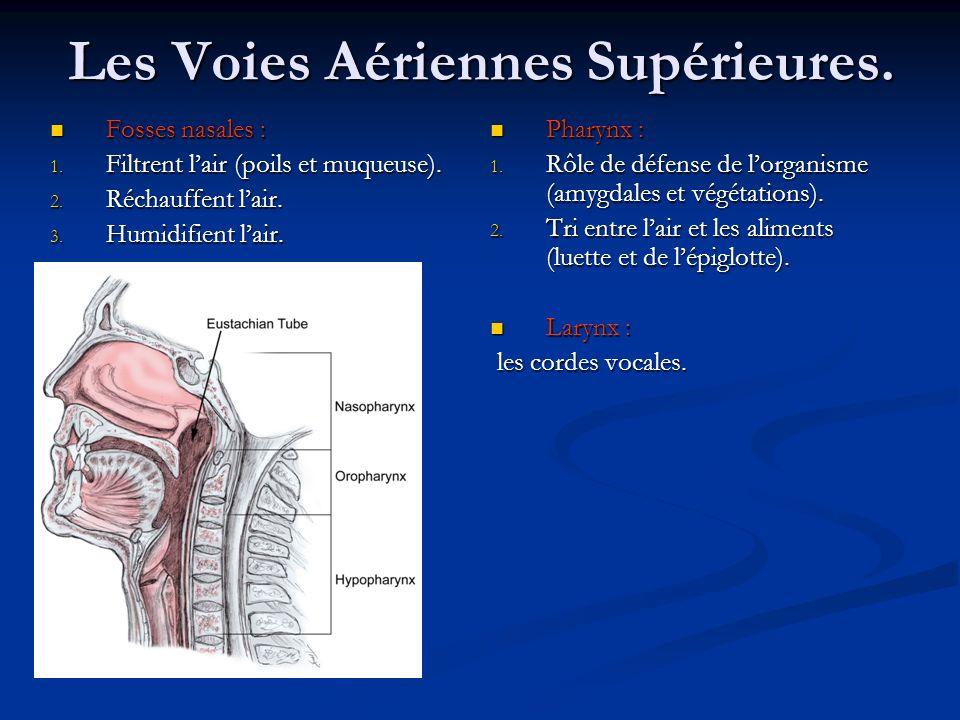 Les Voies Aériennes Supérieures. Fosses nasales : Fosses nasales : 1. Filtrent lair (poils et muqueuse). 2. Réchauffent lair. 3. Humidifient lair. Pha