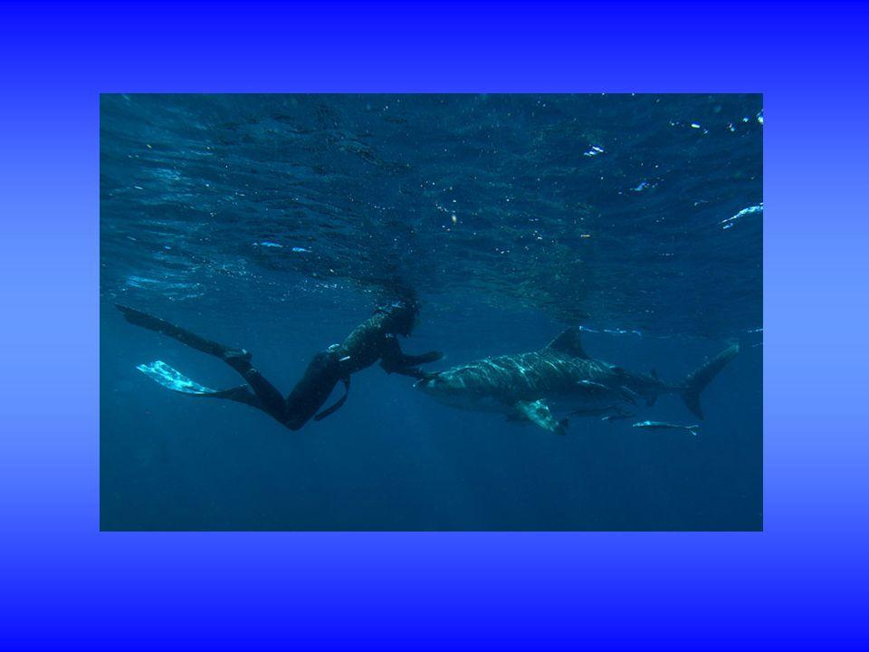 Afin de répondre à la progression constante de lactivité de randonnée subaquatique, la FFESSM via la CNA a créé récemment en 2010, un diplôme de Guide de randonnée subaquatique une attestation de Randonneur subaquatique .