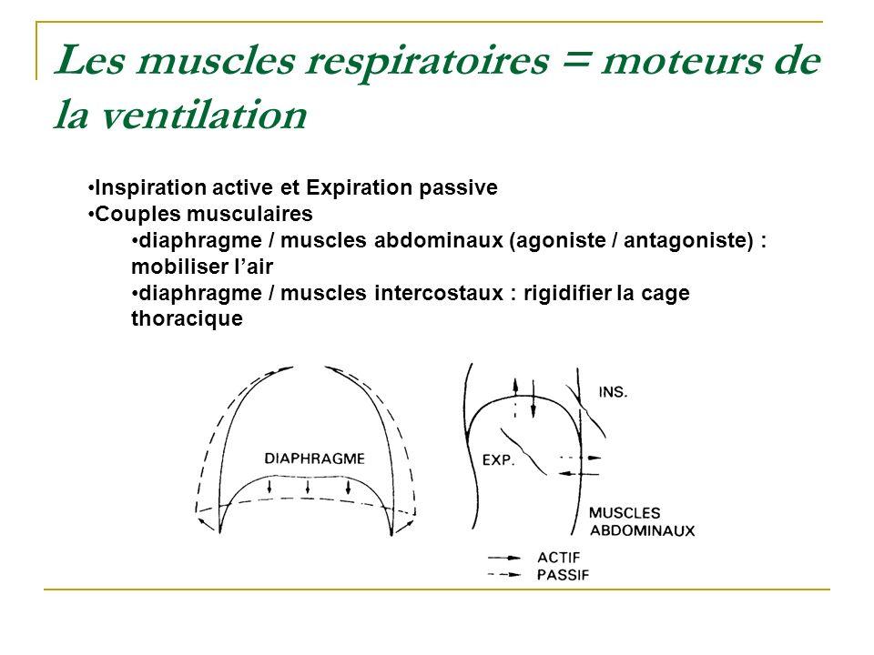 Les muscles respiratoires = moteurs de la ventilation Inspiration active et Expiration passive Couples musculaires diaphragme / muscles abdominaux (ag