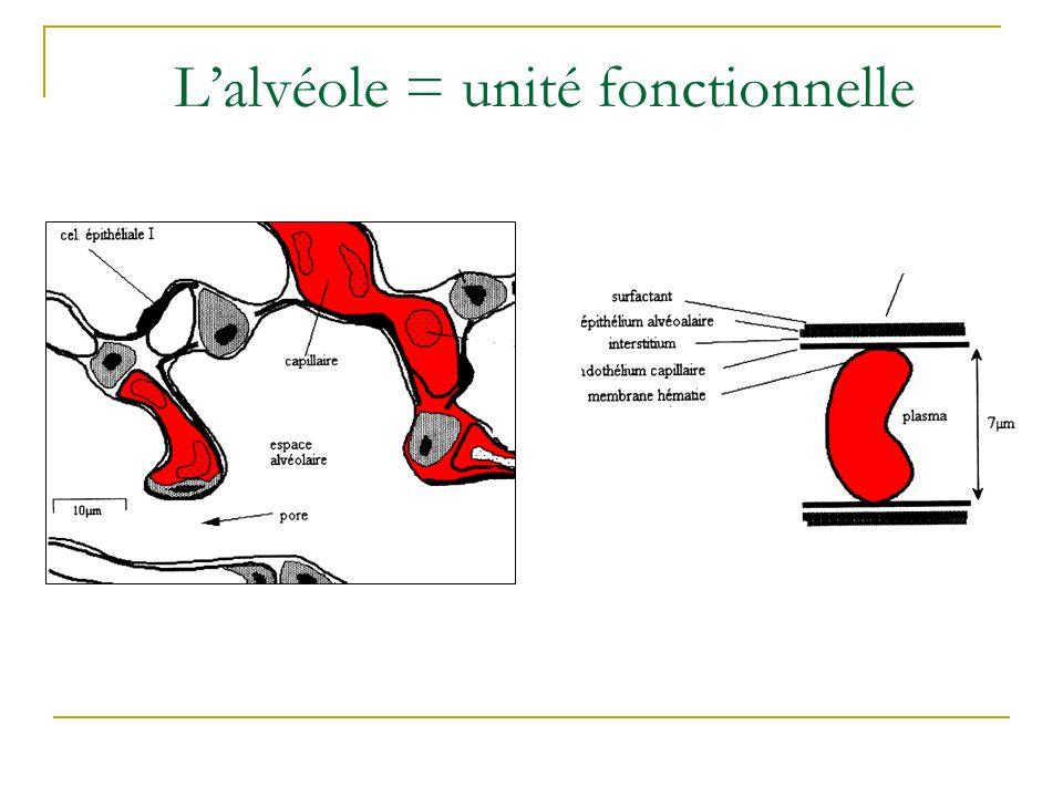 Les 4 étapes du transport de lO 2 La ventilation (1) entre lextérieur et lalvéole permet de renouveler le gaz alvéolaire.