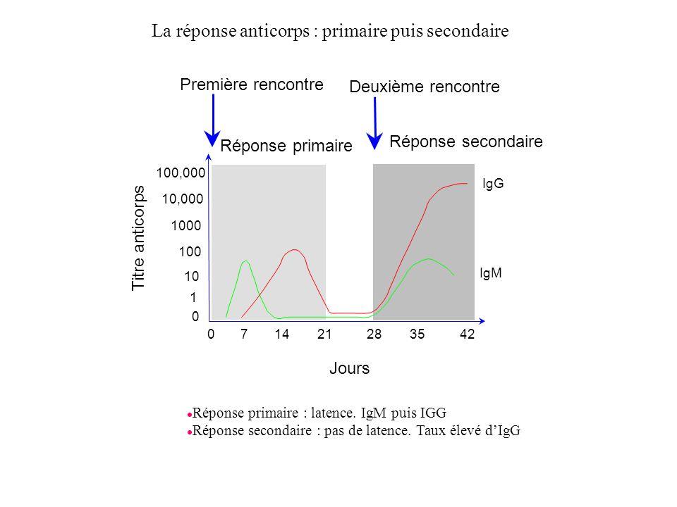 IgG IgM Réponse primaire Réponse secondaire Titre anticorps Jours 210714283542 0 10 1 100 1000 10,000 100,000 Première rencontre Deuxième rencontre l