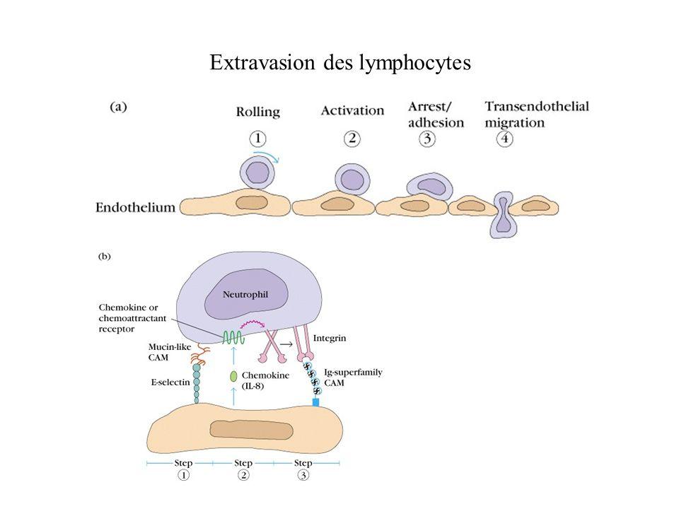 Extravasion des lymphocytes