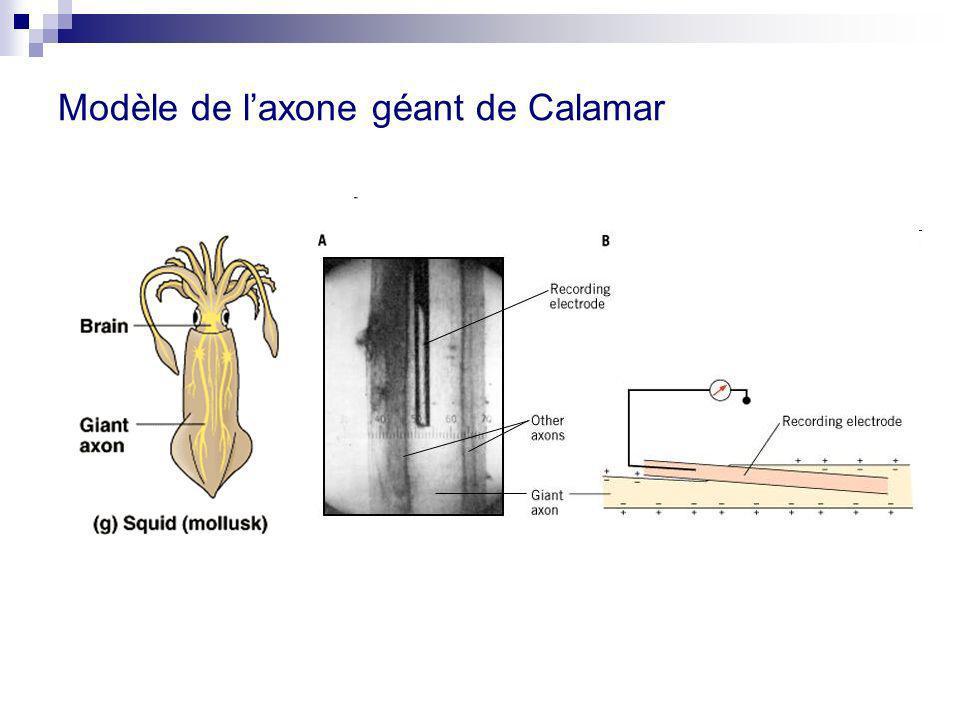 Modèle de laxone géant de Calamar