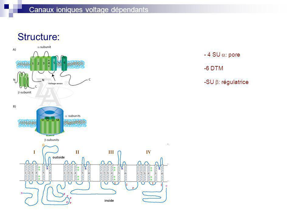 Structure: - 4 SU pore -6 DTM -SU : régulatrice Canaux ioniques voltage dépendants
