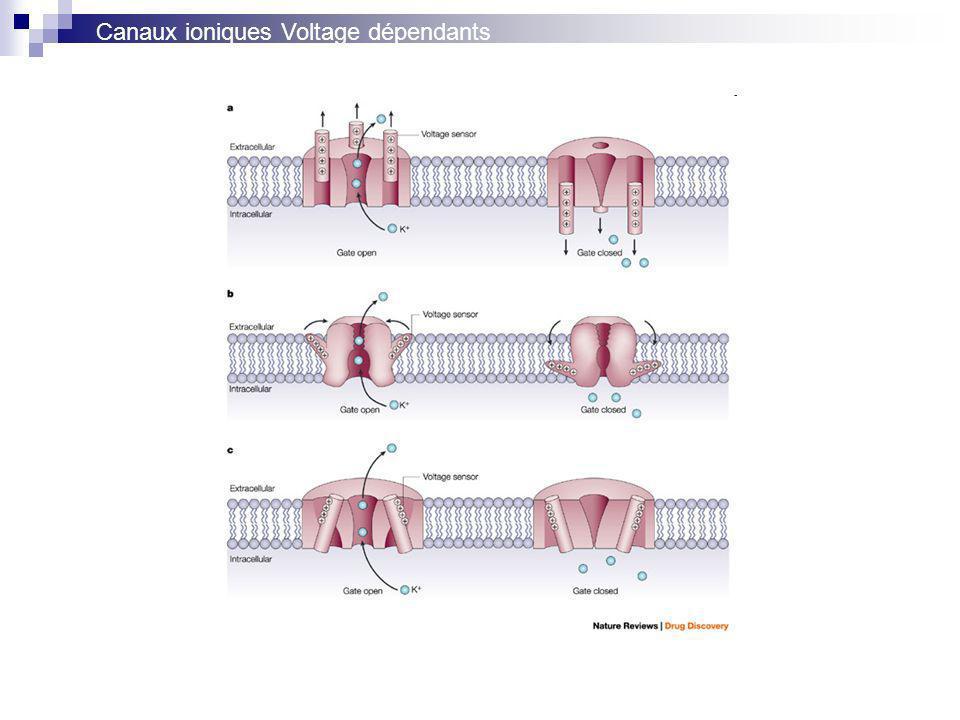 Canaux ioniques Voltage dépendants