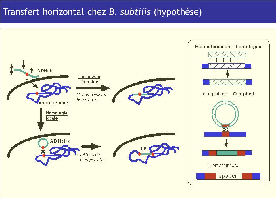 Horizontal transfert in B. subtilis (hypothesis) Transfert horizontal chez B. subtilis (hypothèse)